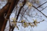 20160318-arboles-floreciendo