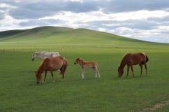 20160630 162658 Beijing_InnerMongolia_xiwuqi_grasslandhorses1
