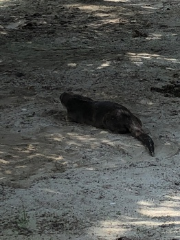 ... and an otter having a sand-bath by the shore